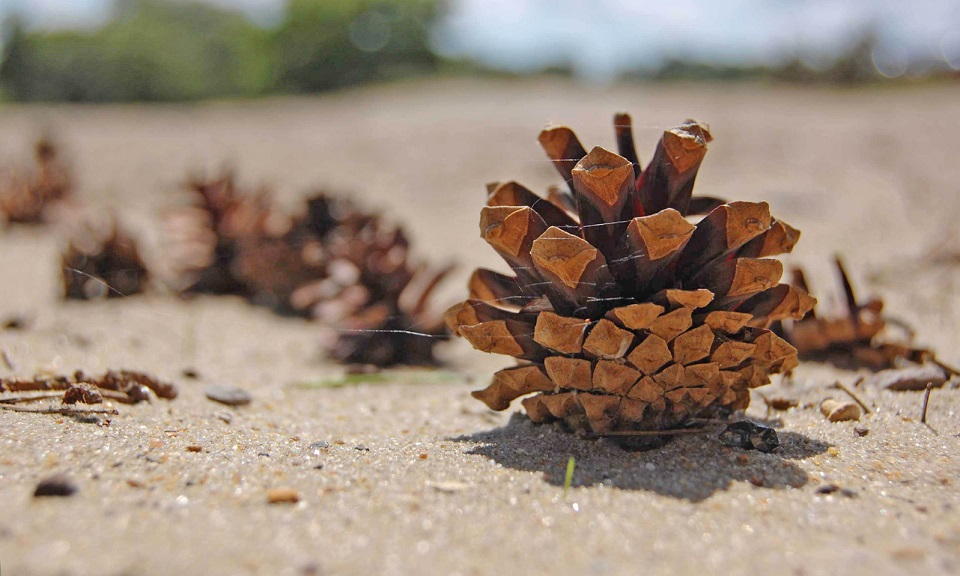 a row of pinecones on the ground
