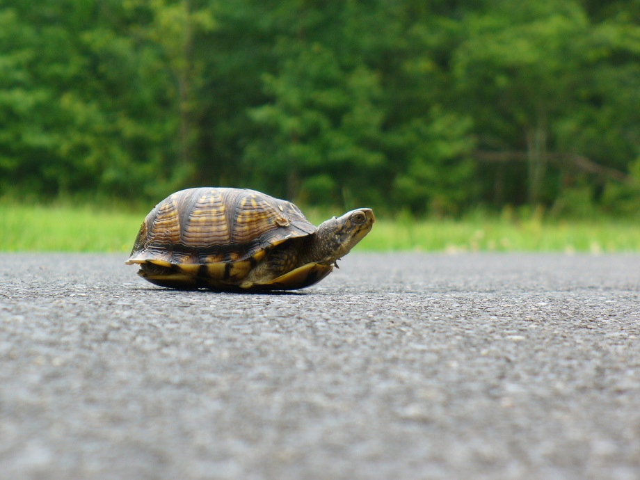 a turtle in the middle of a road sticks its head out of its shell to look for danger