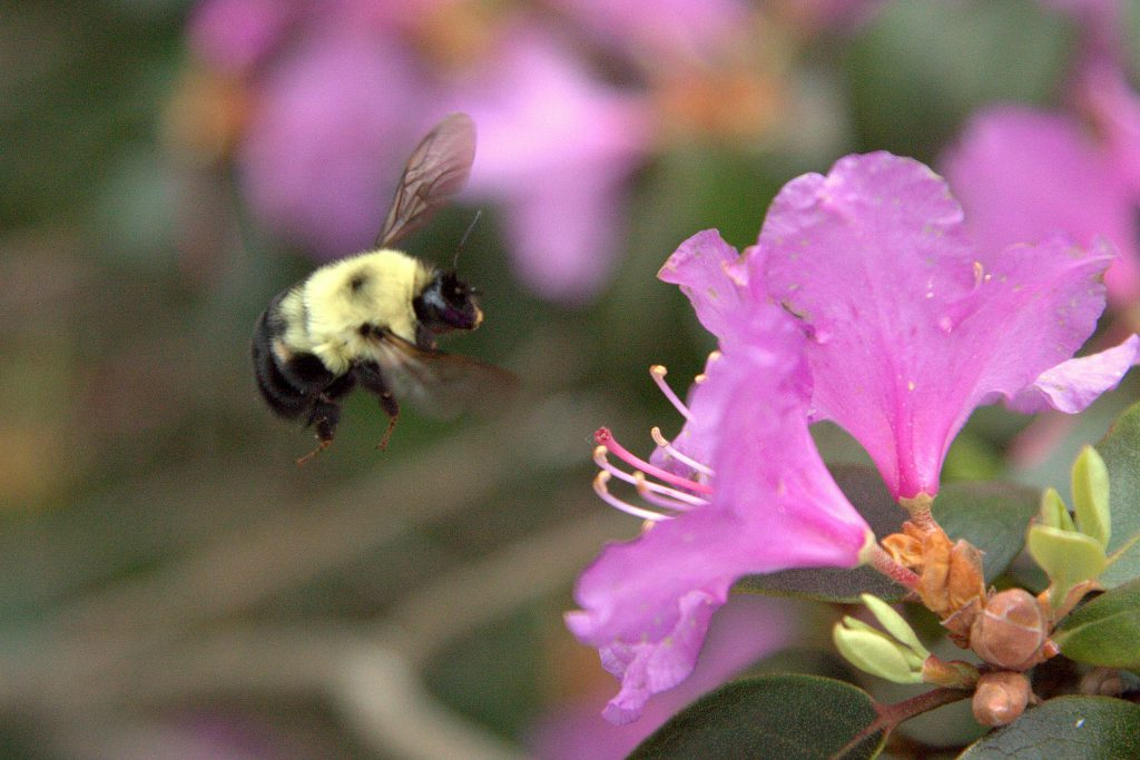 A bumblebee investigating a flower