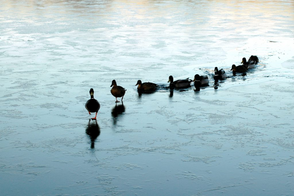 ducks in a row climb up onto some ice in a body of water