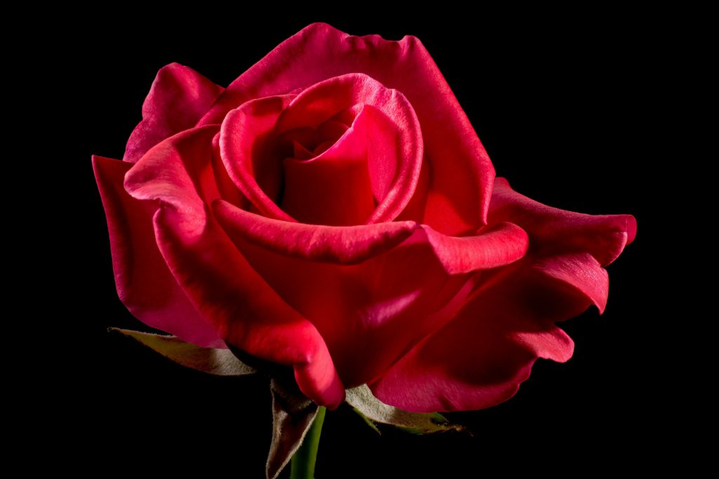 a red rose against a dark backdrop