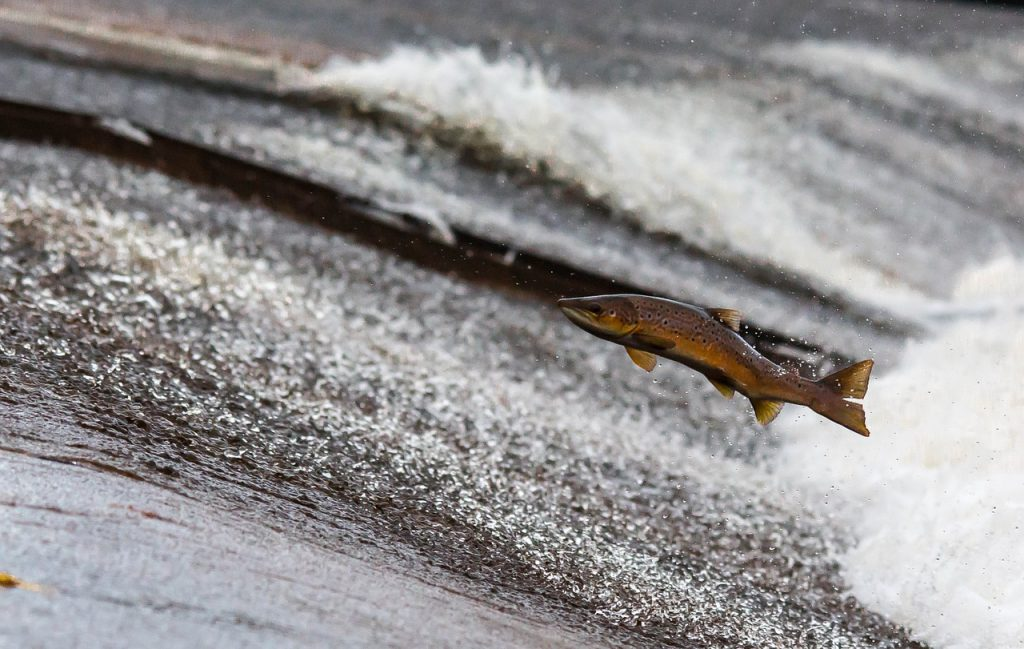 a salmon leaps out of the water, heading upstream