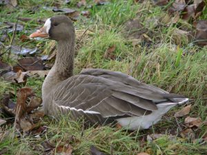 tule goose